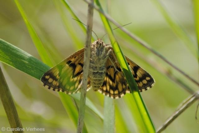 40 - kopie Mi-vlinder tw